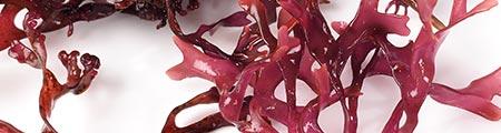 Rot algae uses for skin