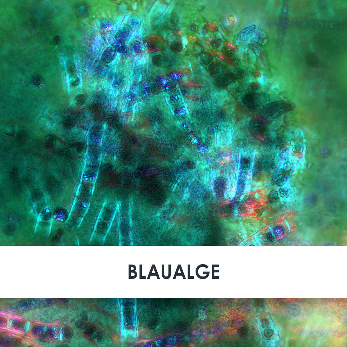 Wirkstoff Klamath-Blaualge