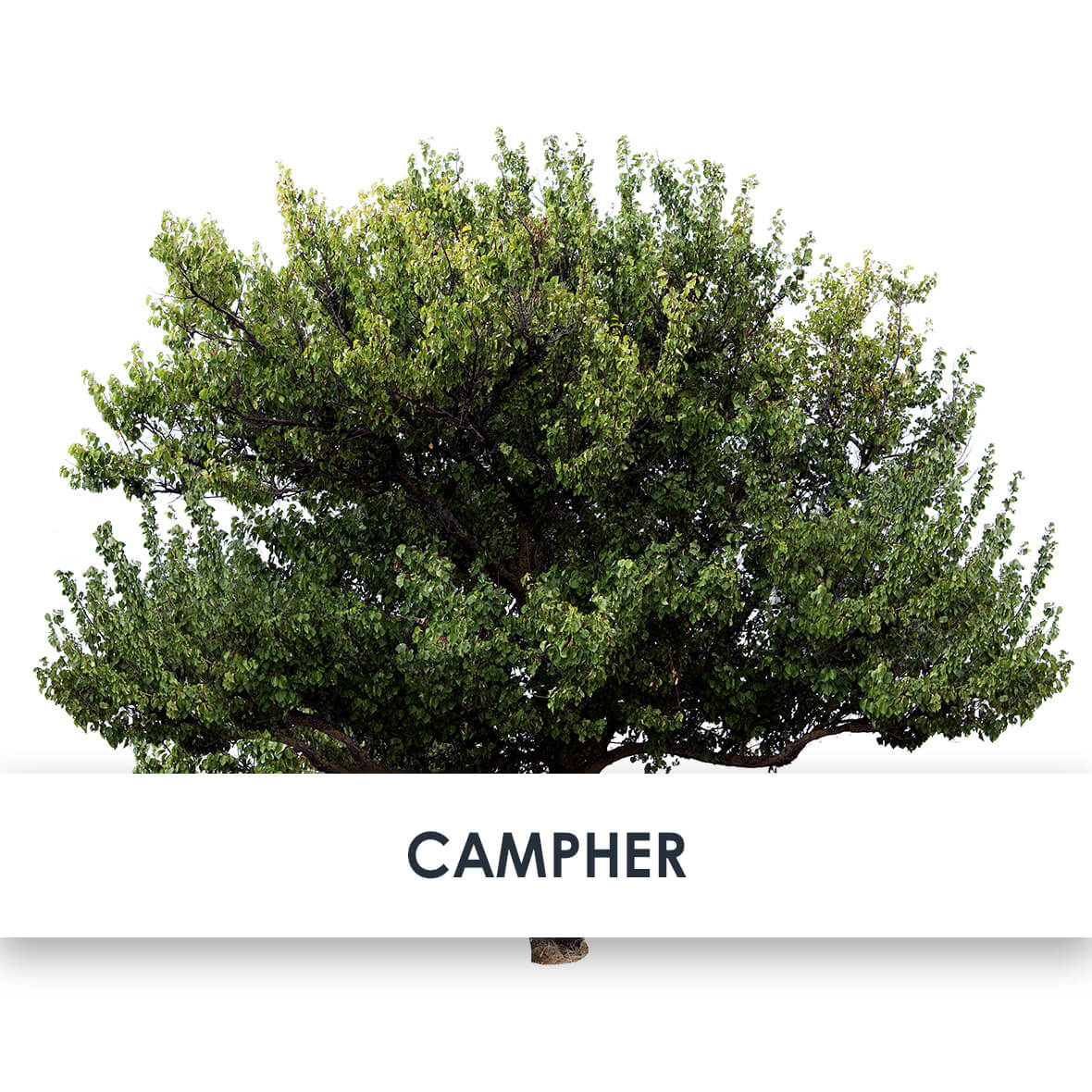Wirkstoff Campher