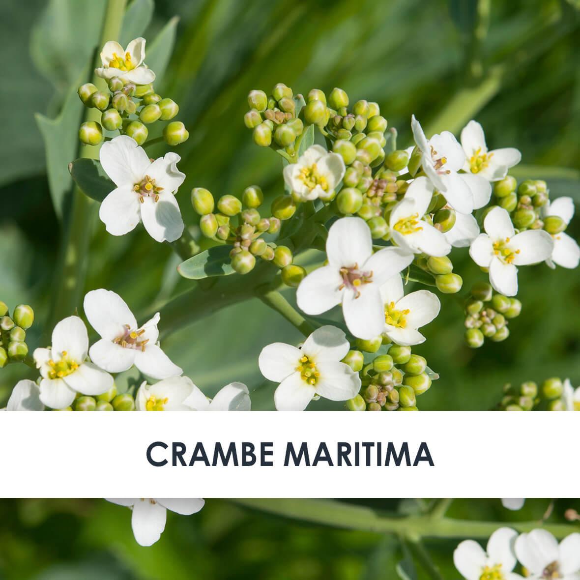 Wirkstoff Crambe Maritima