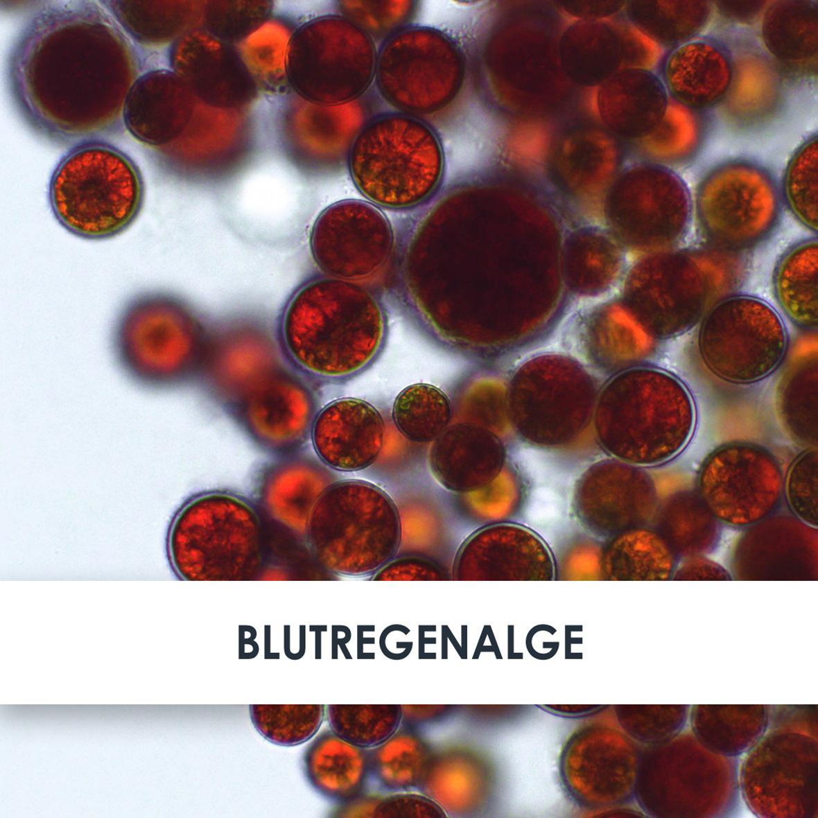 Wirkstoff Blutregenalge