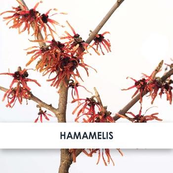 Hamamelis Skincare Benefits