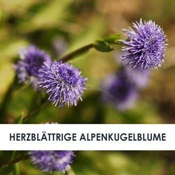 Wirkstoff Herzblättrige Alpenkugelblume