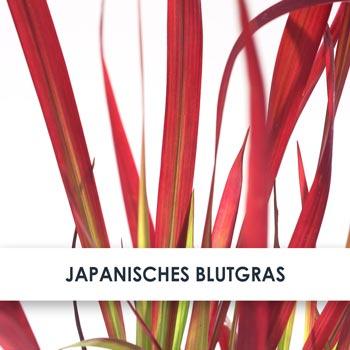 Wirkstoff Japanisches Blutgras