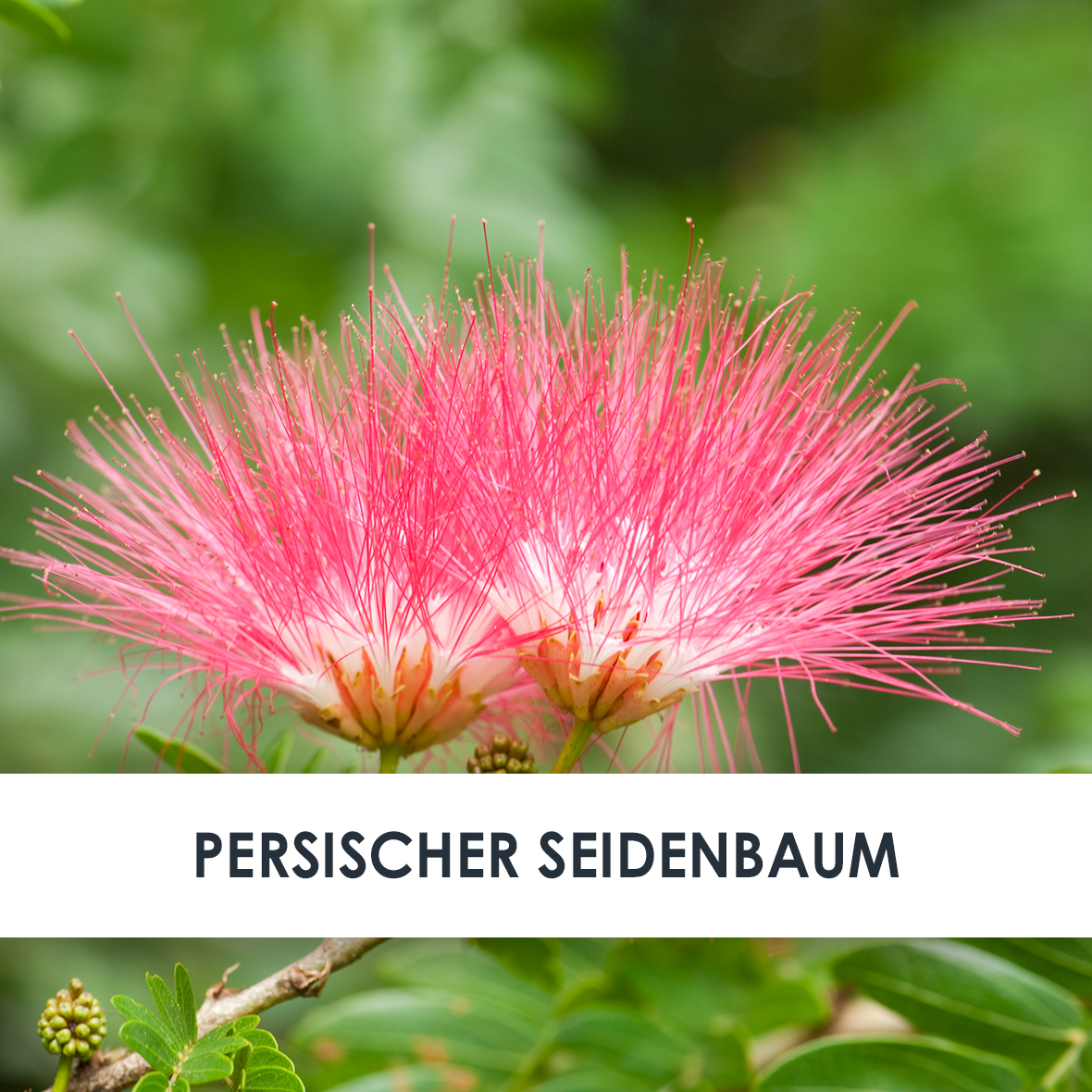 Wirkstoff Persischer Seidenbaum