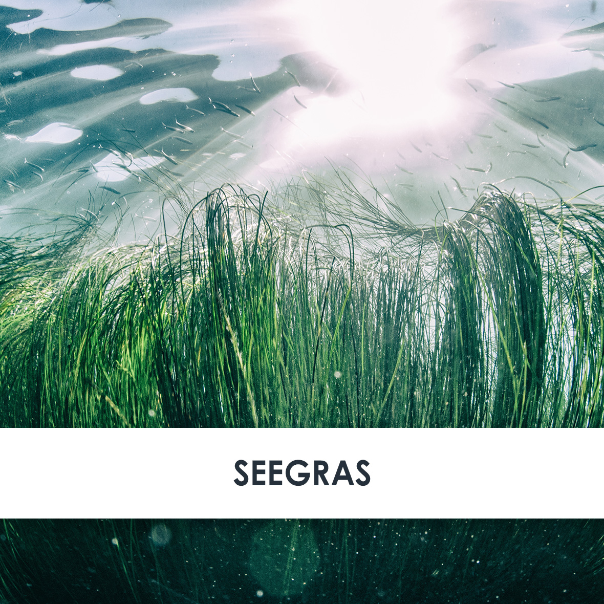 Wirkstoff Seegras