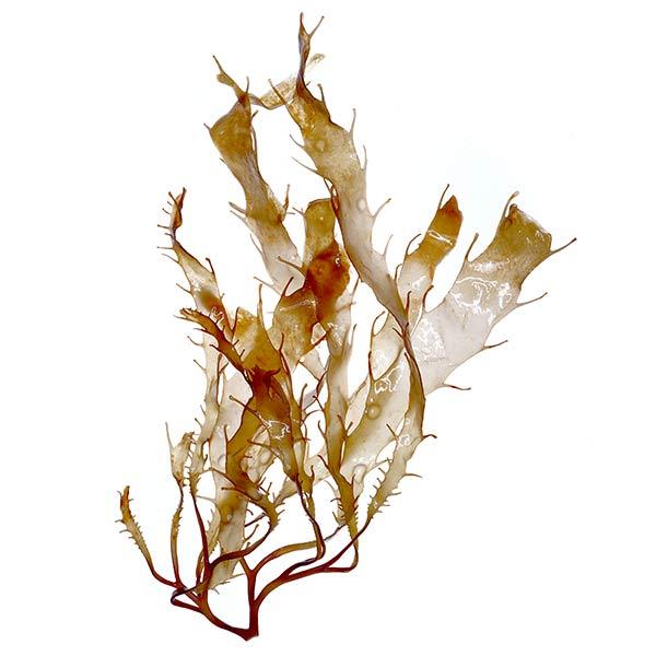 Brown algae benefits for skin