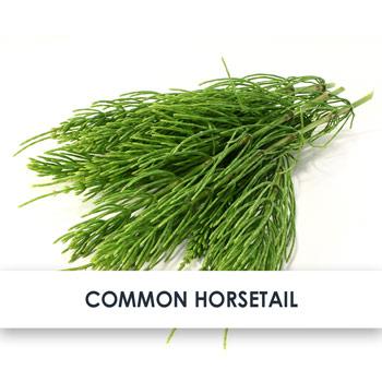 Common Horsetail Skincare Benefits