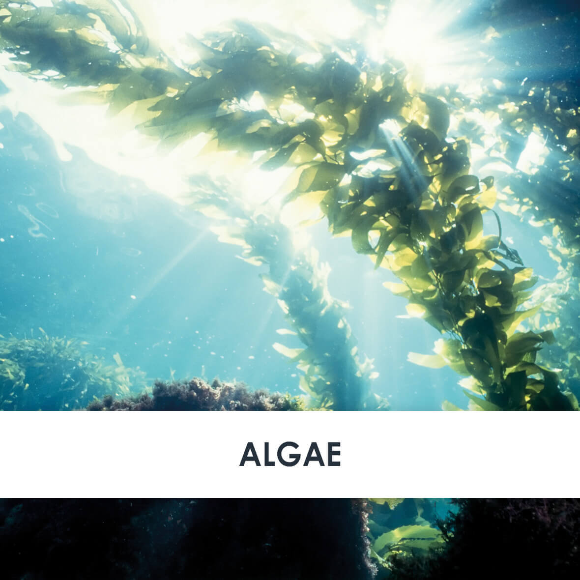 Active Ingredient Algae