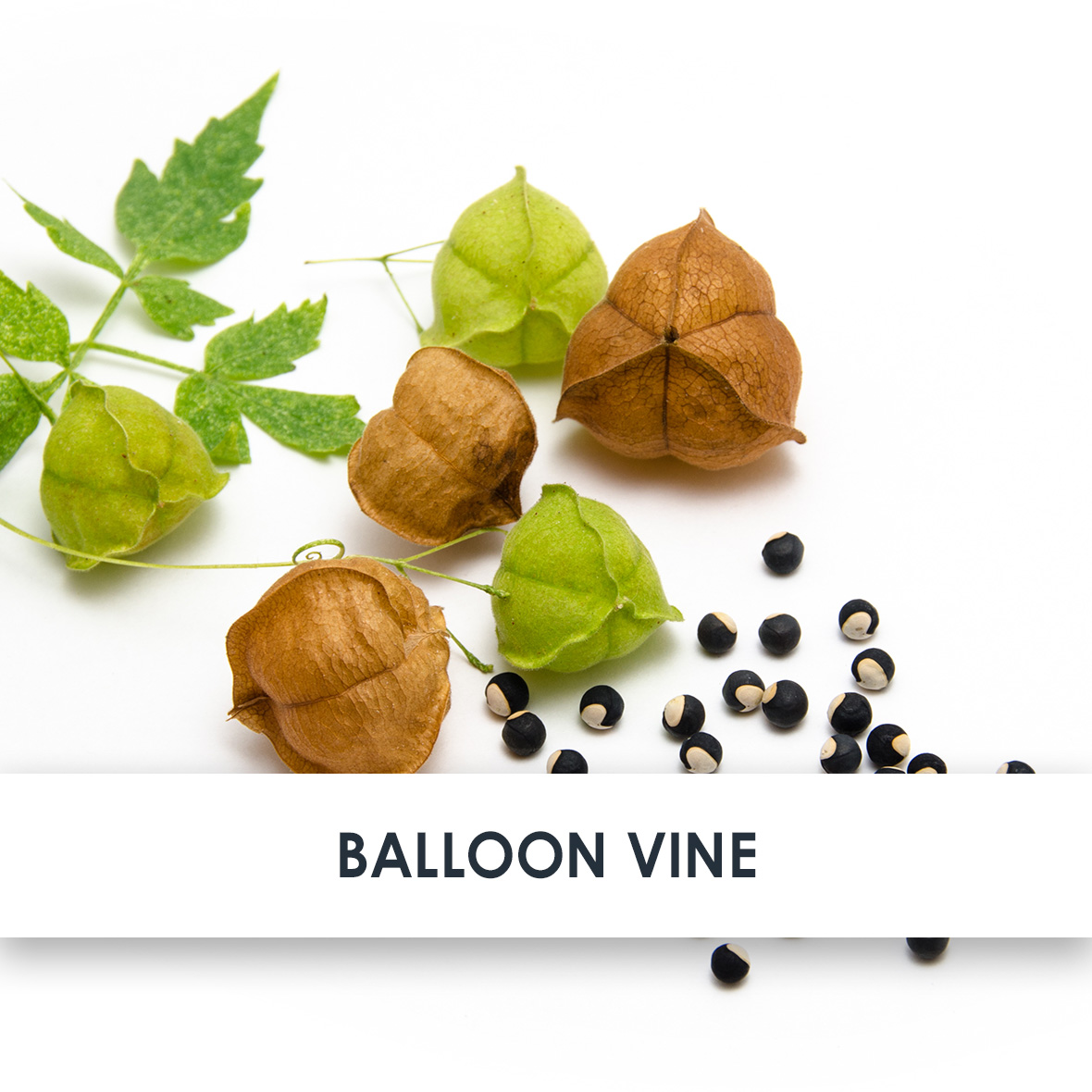 Active Ingredient Balloon Vine