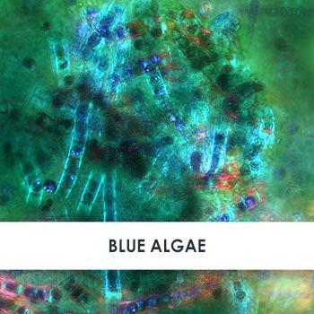 Blue Algae Skincare Benefits