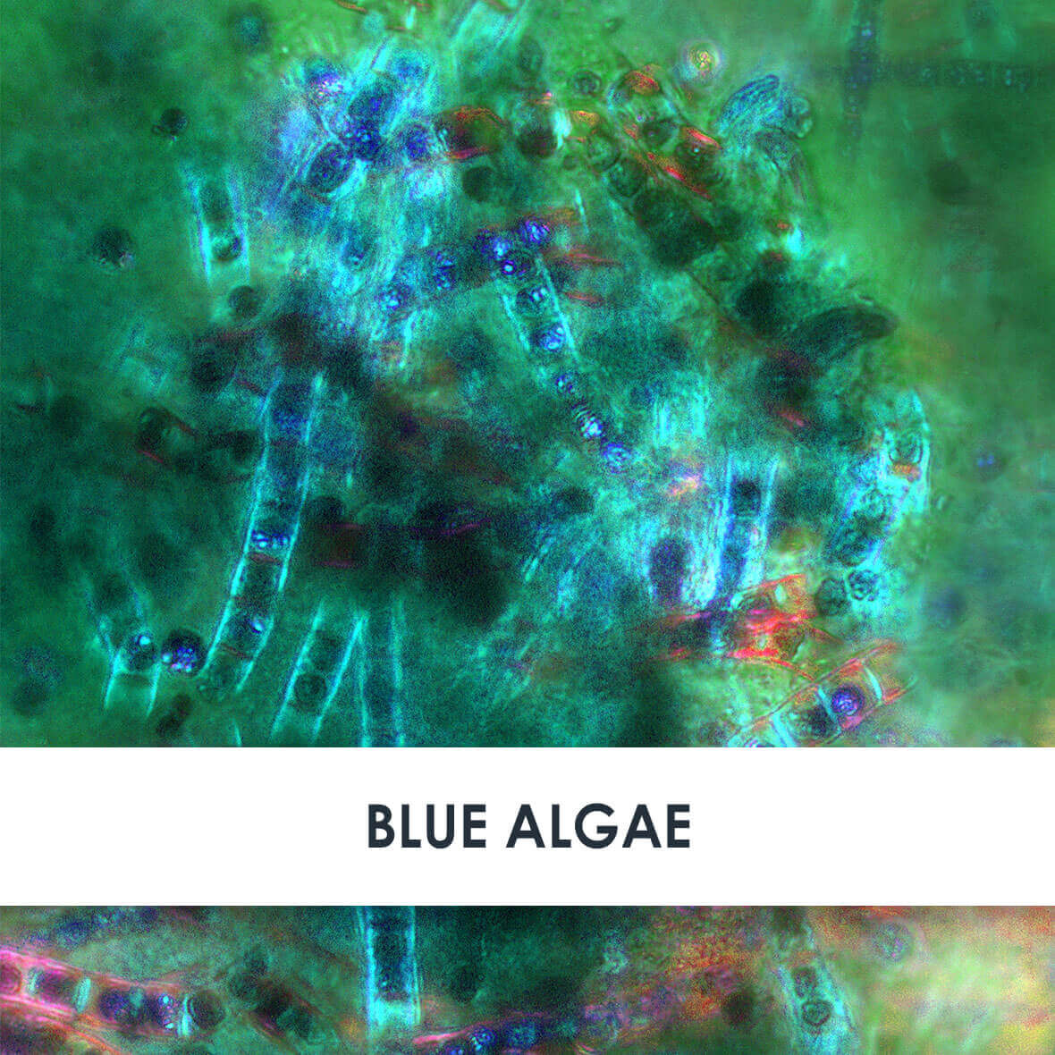 Blue Algae Skincare Benefits