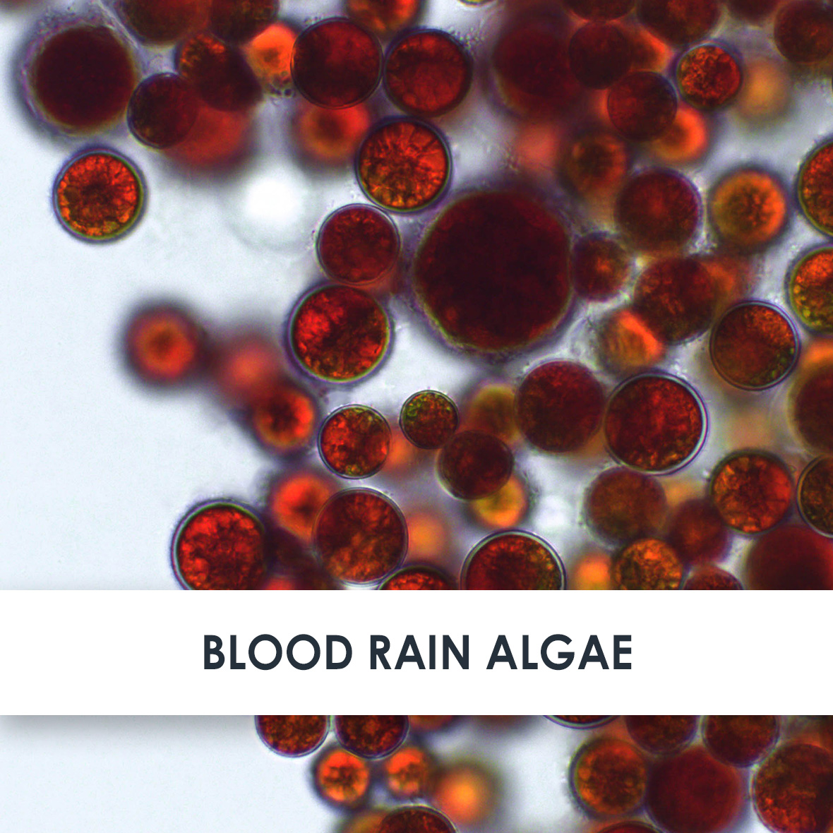 Blood Rain Algae Skincare Benefits