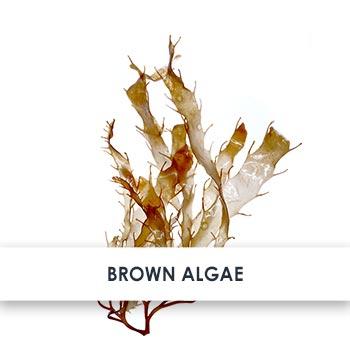 Brown Algae Skincare Benefits