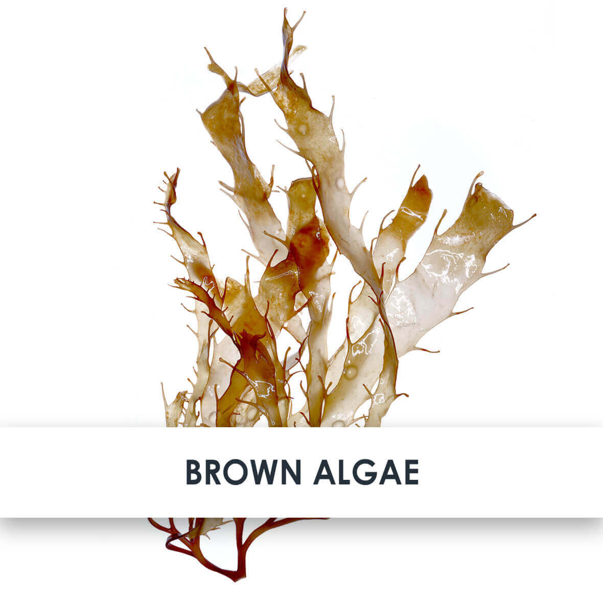 Brown Algae Skincare Benefits