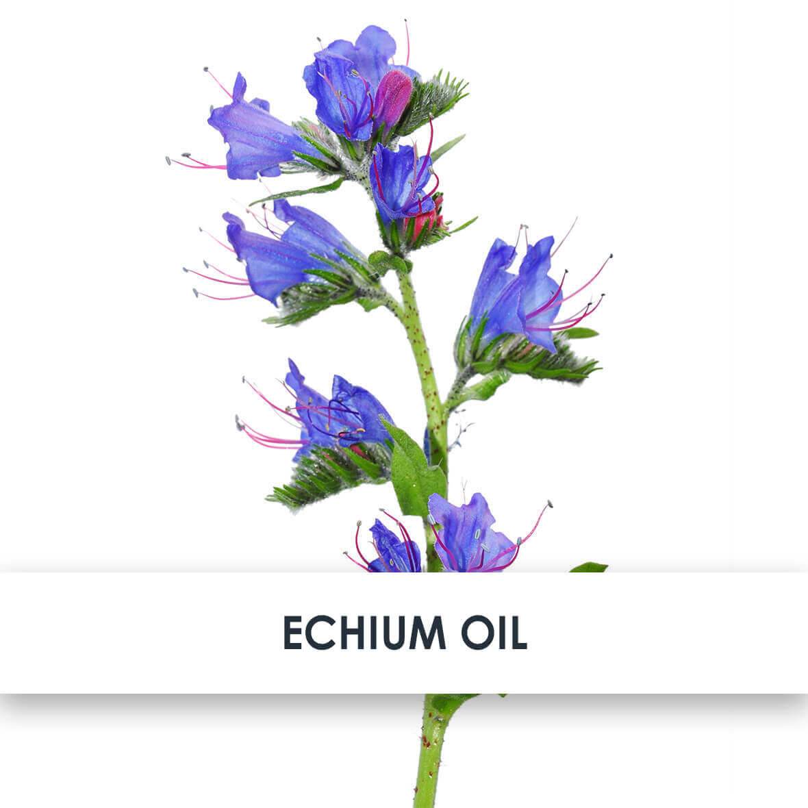 Echium Oil Skincare Benefits
