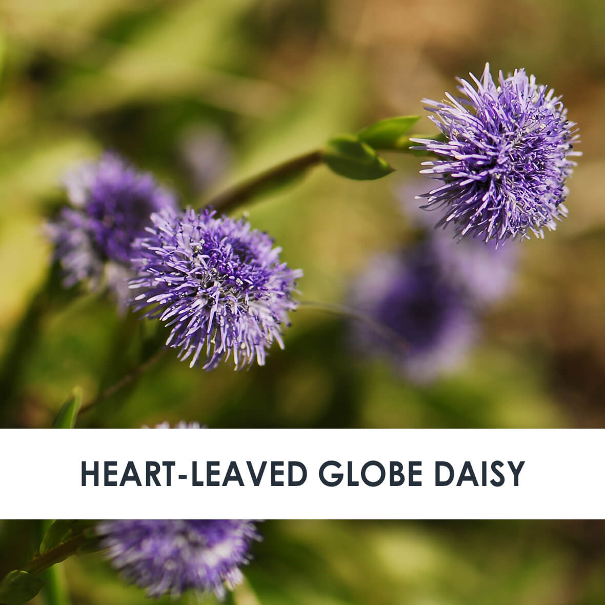 Heart-leaved Globe Daisy Skincare Benefits