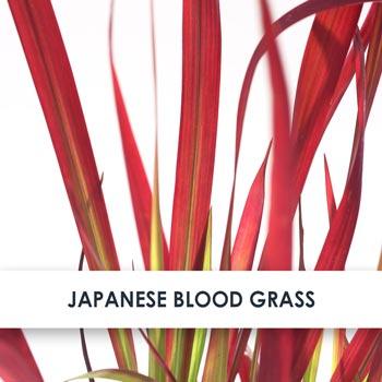 Japanese Blood Grass Skincare Benefits