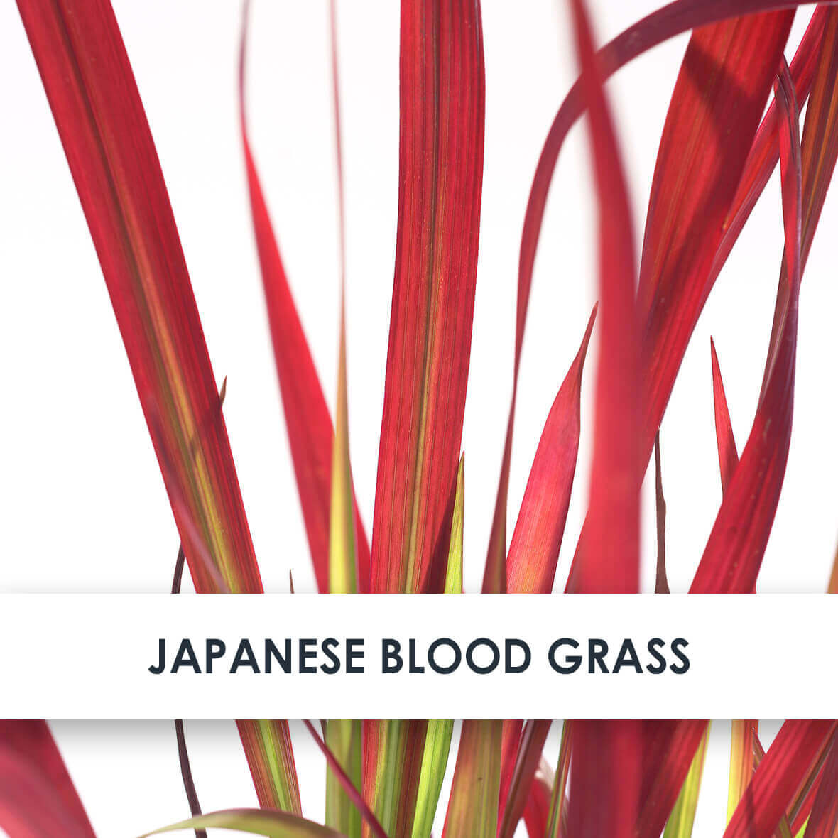 Japanese Blood Grass Skincare Benefits