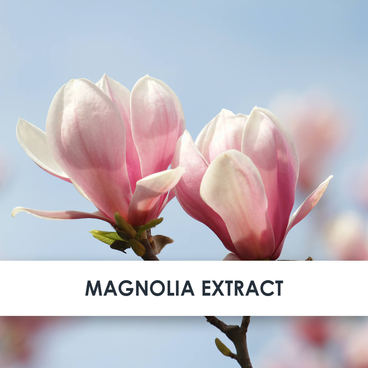 Magnolia Skincare Benefits
