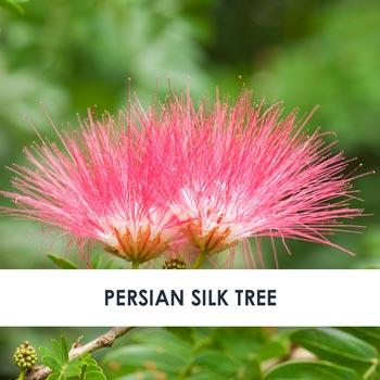 Persian Silk Tree Skincare Benefits