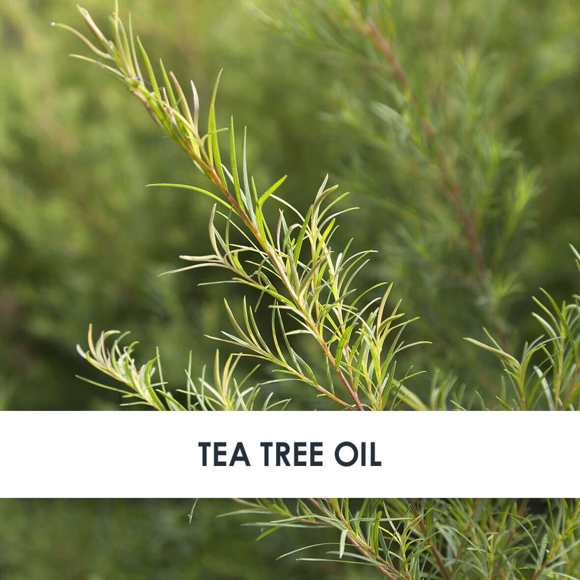 Tea Tree Oil Skincare Benefits