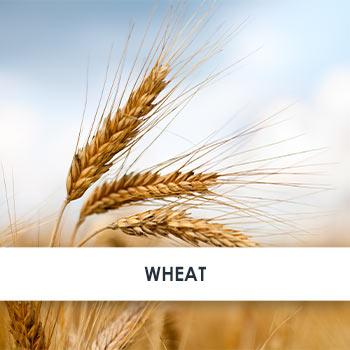 Wheat Skincare Benefits