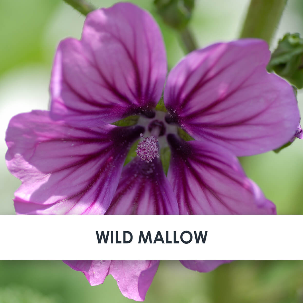 Wild Mallow Skincare Benefits