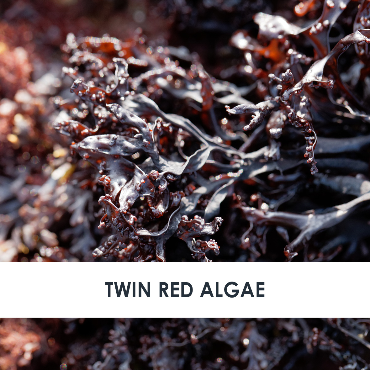 Twin Red Algae Skincare Benefits
