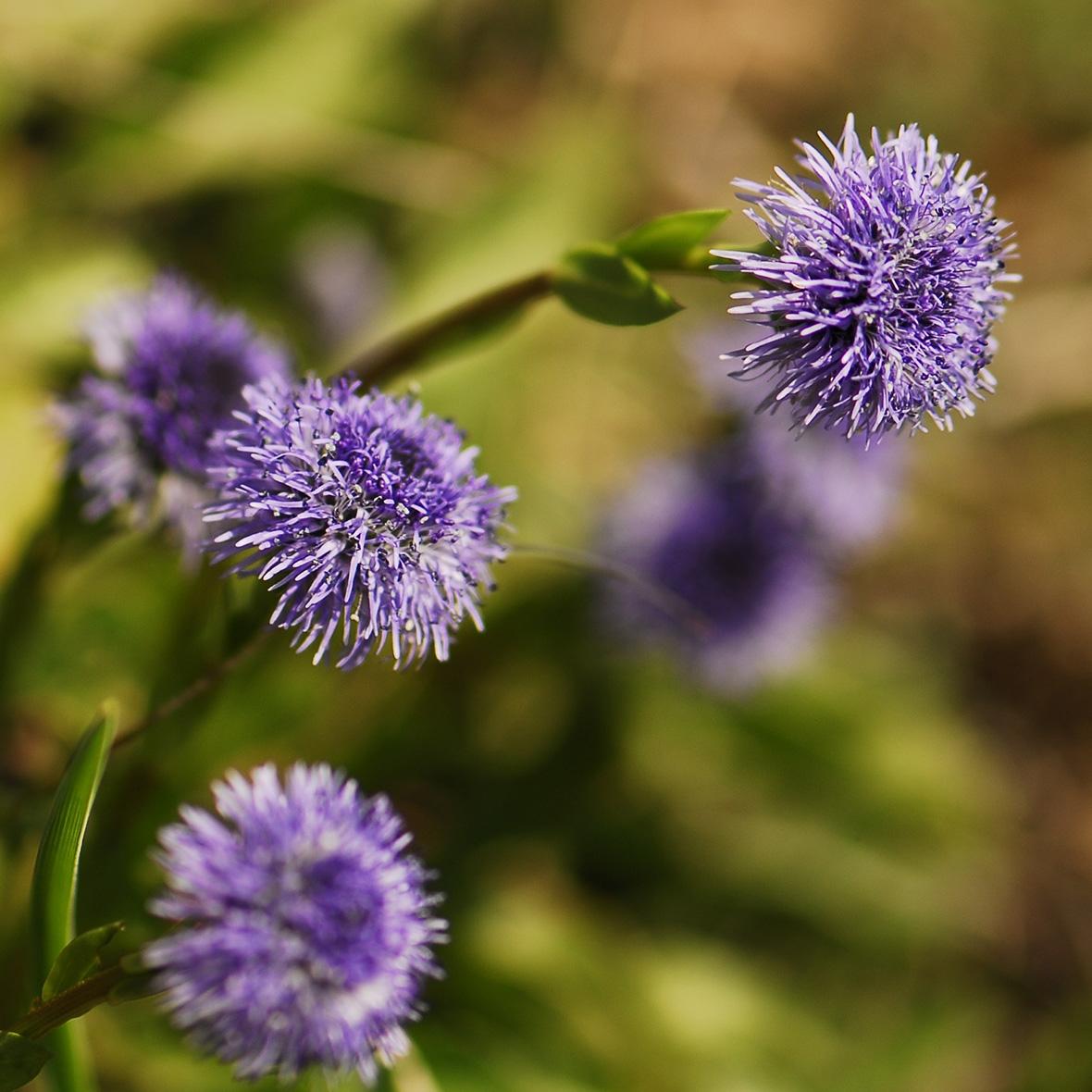 Herzblättrige Alpenkugelblume