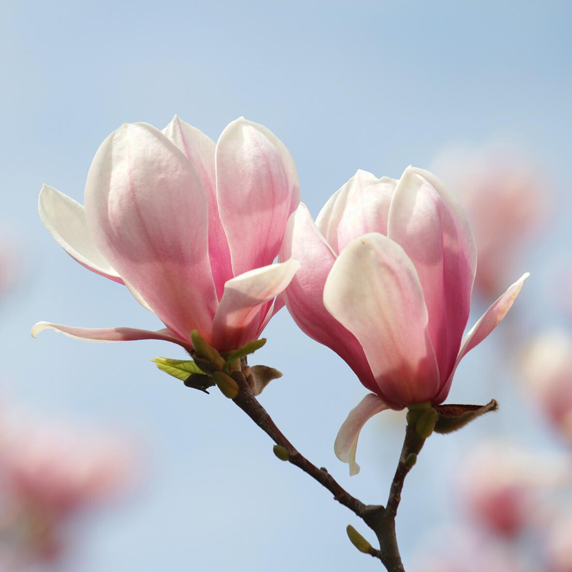 magnolienextrakt