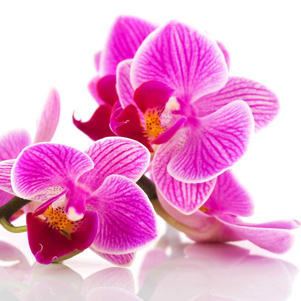 orchideenextrakt