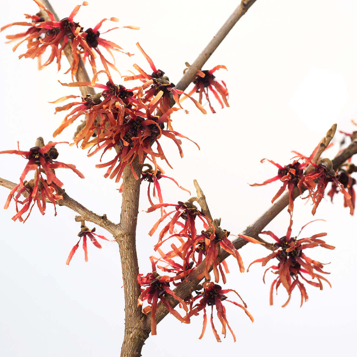 Witch hazel benefits – wound healing, soothing, astringent